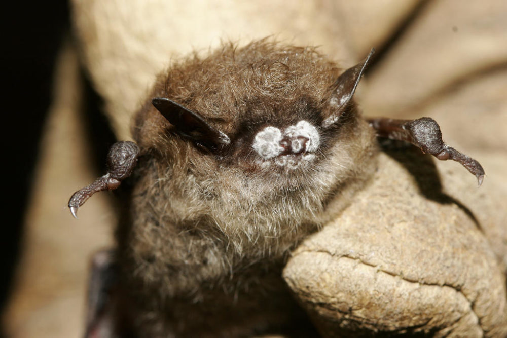 A little brown bat found in New York in 2008 with white-nose syndrome. (Ryan Von Linden/New York Department of Environmental Conservation)