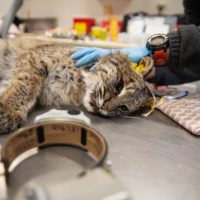 This female bobcat was tagged and outfitted with a GPS collar, which she'll wear for 300 days. (Patrick Skahill/CPR)