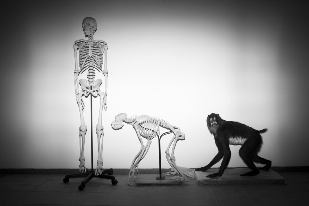 Skeletons of a human and a monkey await installation at the Steinhardt Museum of Natural History in Tel Aviv, Israel on Monday, Feb 19, 2018. (Oded Balilty/AP)