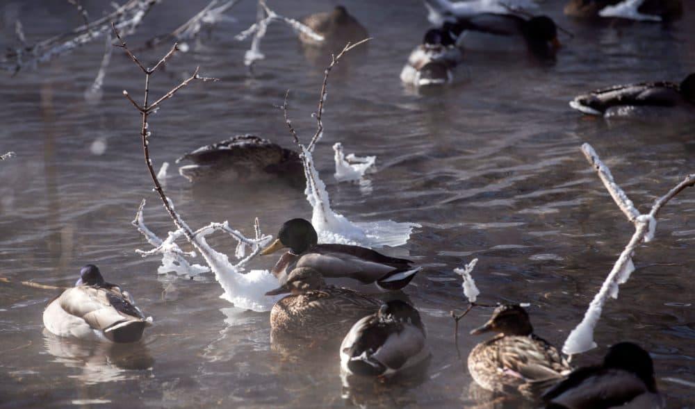 Ducks find refuge on a steamy open section of Minnehaha Creek on Jan. 30, 2019 in Minneapolis, Minn. (Stephen Maturen/AFP/Getty Images)