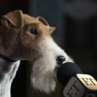 King, a Wire Fox Terrier, leans towards a microphone during a media availability after winning Best in Show Tuesday at the Westminster Kennel Club Dog Show. (Mark Lennihan/AP)