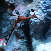 One of the weedy seadragons at the New England Aquarium. (Courtesy NEAQ)