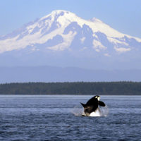 An orca breaches in view of Mount Baker, some 60 miles distant, in the Salish Sea in the San Juan Islands. (Elaine Thompson/AP)