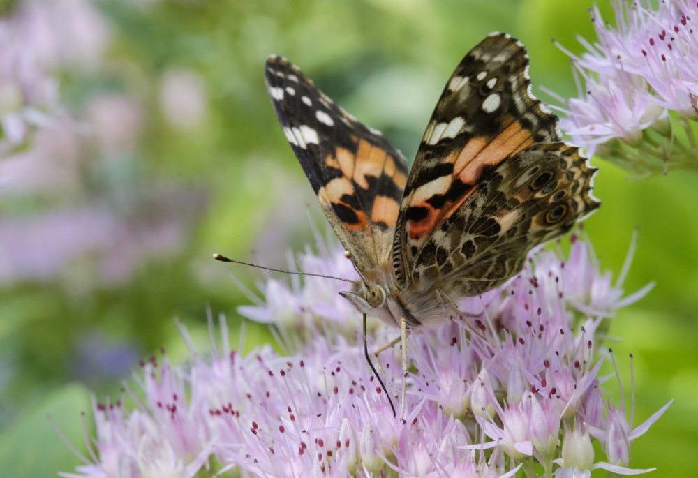 A Painted Lady butterfly feeds on Sedum flowers in Omaha, Neb., Tuesday, Sept. 19, 2017. (Nati Harnik/AP)