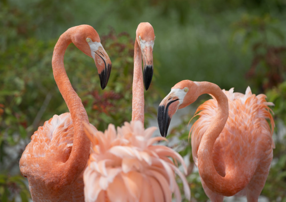 American flamingos gather in their exhibit space at Zoo Miami om July 15, 2016. (Wilfredo Lee/AP)