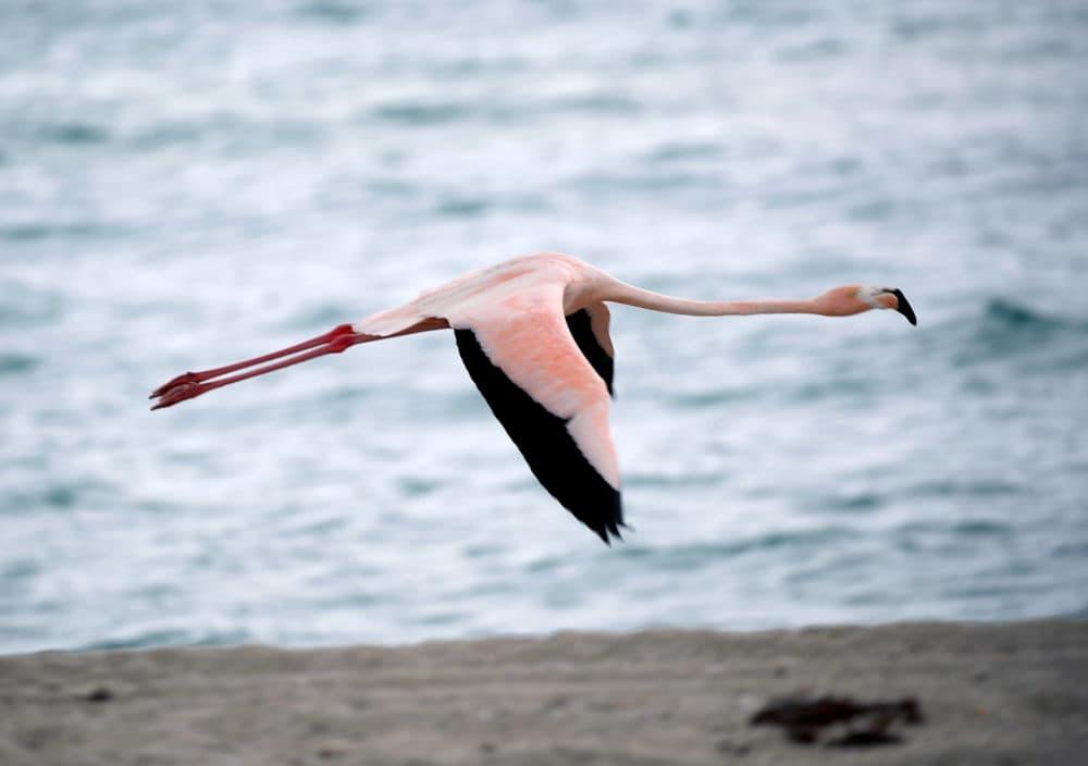 A lone pink flamingo flies along Haulover Beach in Miami Beach, Florida. (Joe Raedle/Getty Images)