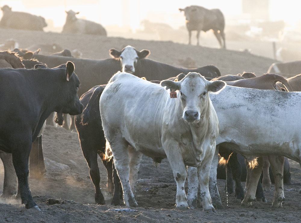 Cattle are seen at a feedlot in Nebraska on July 20, 2012. (Nati Harnik/AP)