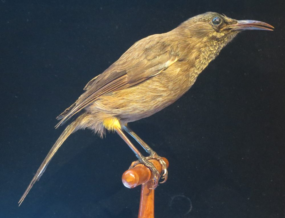 A Kauaʻi ʻōʻō, which was last heard in 1987. Researchers expect that it is extinct. (Courtesy Bishop Museum, Honolulu)