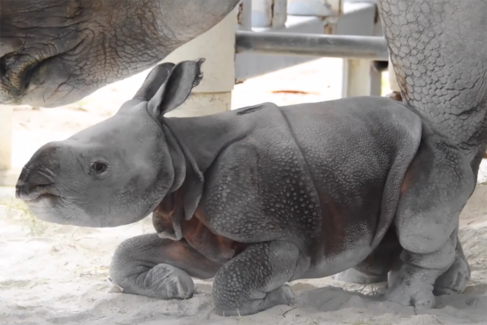 Zoo Miami is celebrating the birth of this rare one-horned Indian rhino. (Screenshot/Courtesy of Zoo Miami)