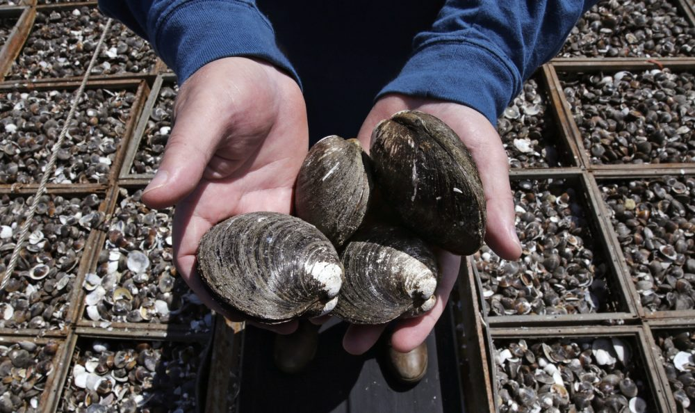 In this May 2016, photo, Mike Mohr, captain of the fishing vessel E.S.S. Pursuit, cradles quahog clams on the deck of his ship while offloading a two-day haul at a dock in New Bedford, Mass. (Charles Krupa/AP)