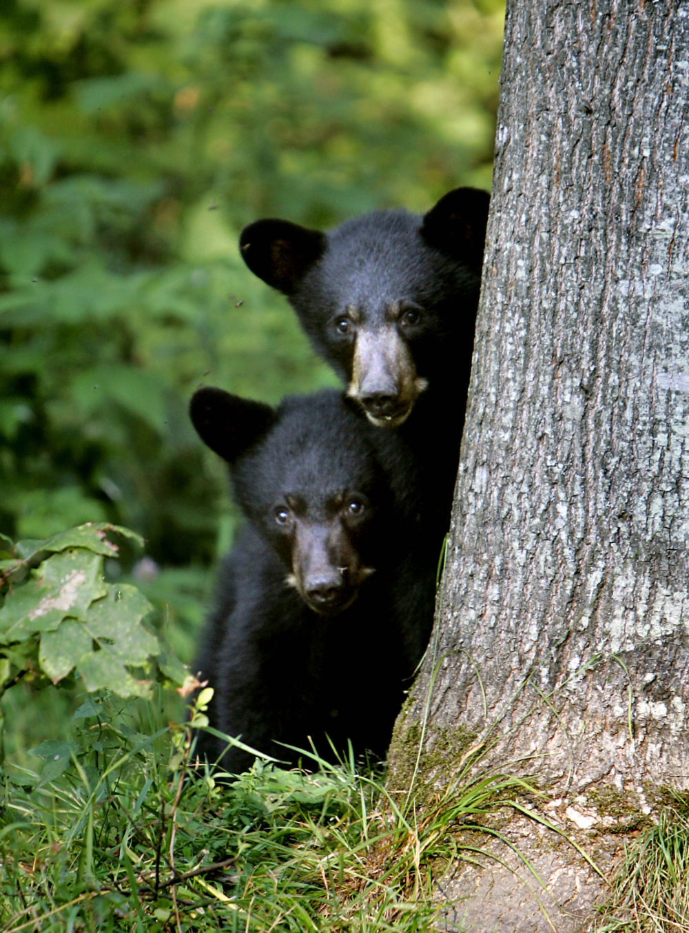 A sanctuary in New Hampshire said it is caring for a growing number of abandoned bear cubs because of food shortages last fall and winter. (Cheryl Senter/AP)