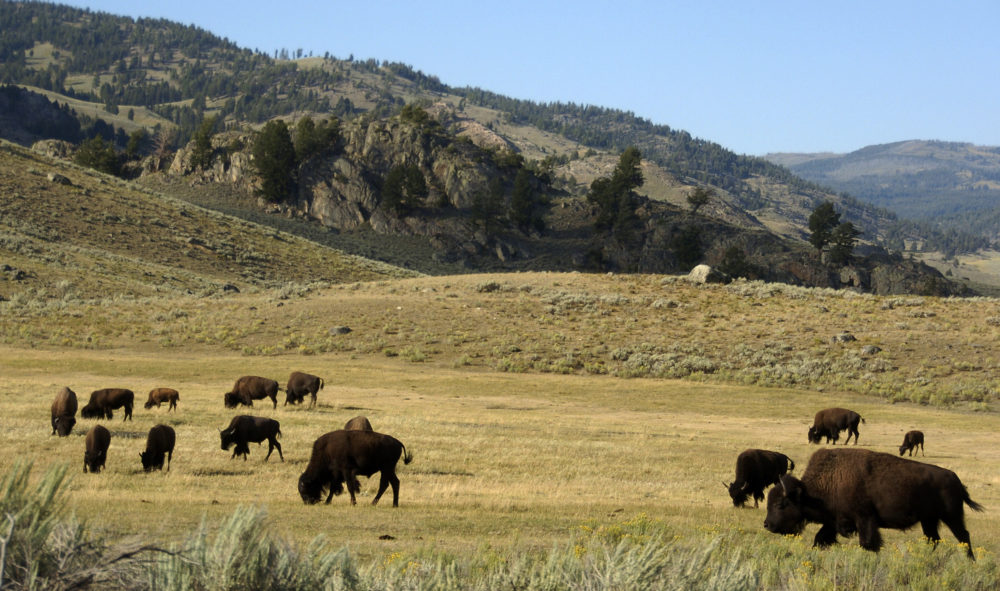 In this Aug. 3, 2016 file photo, a herd of bison grazes in the Lamar Valley of Yellowstone National Park in Wyo. (Matthew Brown/AP/File)