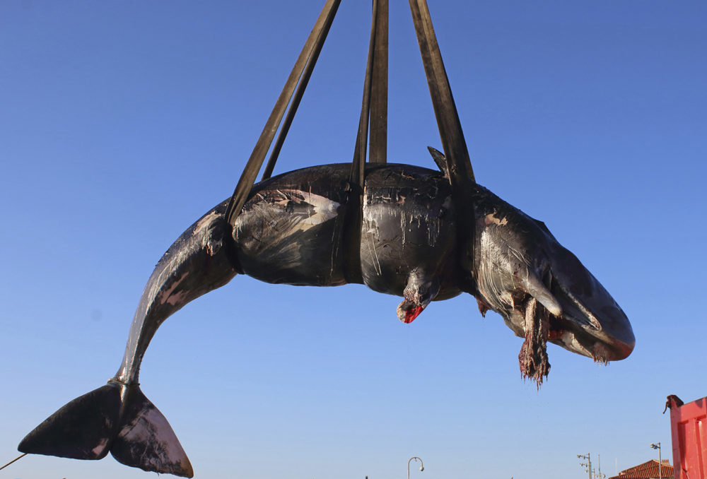 A whale is lifted up onto a truck after being recovered off Sardinia island, Italy. The World Wildlife Foundation is sounding the alarm over plastics in the Mediterranean Sea after an 8-meter-long sperm whale was found dead off Sardinia with 48.5 pounds of plastic found in its belly. The female whale beached off the northern coast of Sardinia last week. (SEAME Sardinia Onlus via AP)