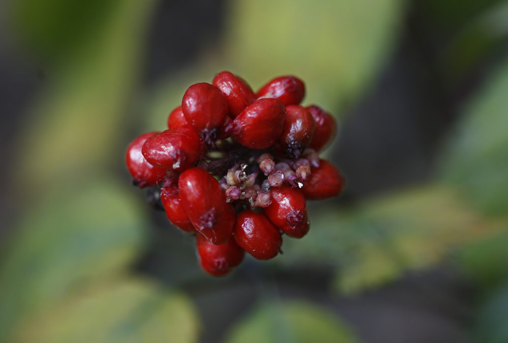 In this 2015 photo, a seed pod is seen above a ginseng plant growing in Pennsylvania. (AP Photo/Keith Srakocic)