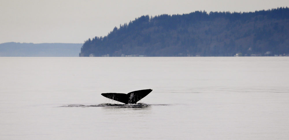 A gray whale shows its massive tail fluke while diving on March 13, 2015, in Possession Sound, near Everett, Wash. (Elaine Thompson/AP)