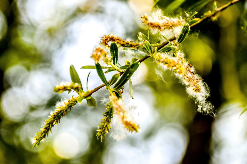 This picture taken on May 27, 2018 shows pollen on a tree in Godewaersvelde, northern France. (Philippe Huguen/AFP/Getty Images)