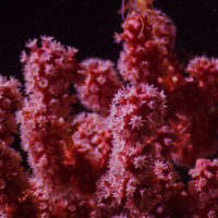 A bubblegum coral similar to, but distinct from, the new species (Courtesy of Ivan Agerton/OceanX via WHOI)