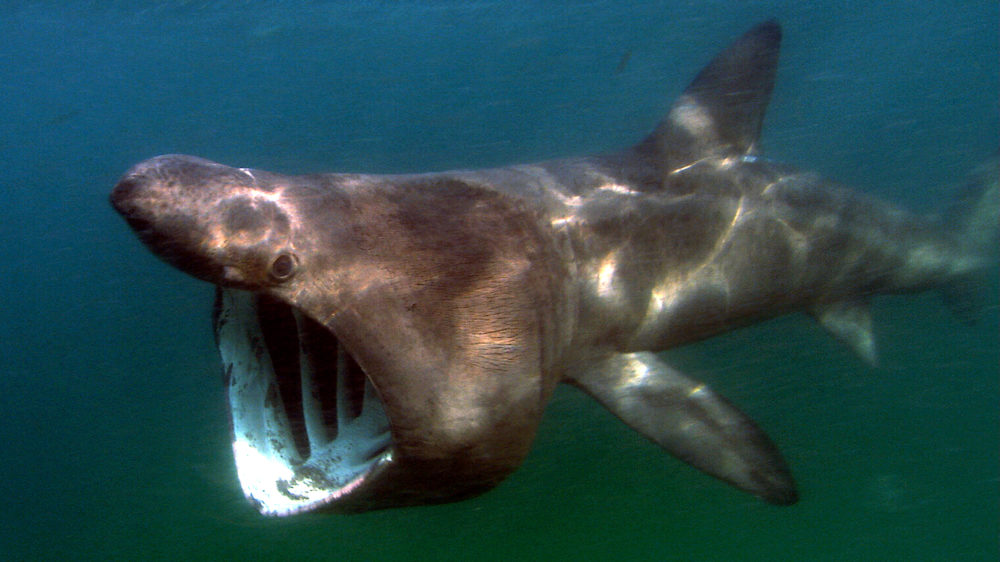 A basking shark photographed off the Atlantic coast in 2013. The species appears to be making a comeback off the coast of California. (Green Fire Productions/Wikimedia Commons)
