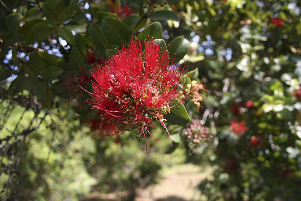 A blossom of an ohia lehua tree is shown in Kauai, in Hawaii's Limahuli Garden. The red and yellow blossoms normally adorn hair and hands of dancers during the world's most prestigious hula competition. (Tara Godvin/AP)