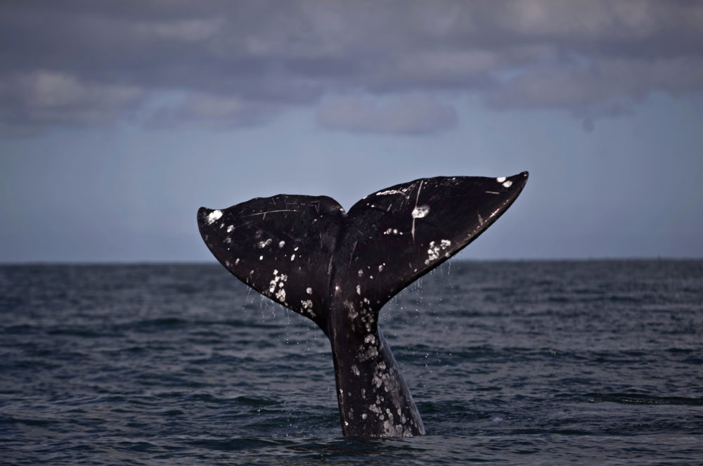 A tail of a gray whale surfaces. (Guillermo Arias/AP File)