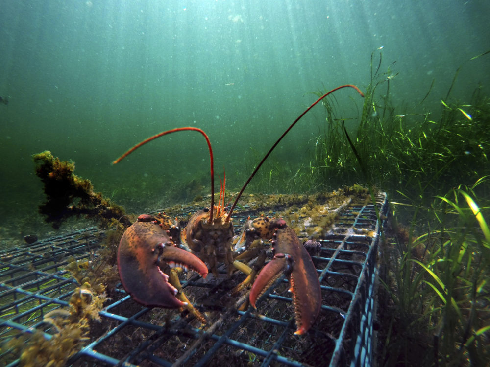 A lobster walks over the top of a lobster trap off the coast of Biddeford, Maine. (Robert F. Bukaty/AP)