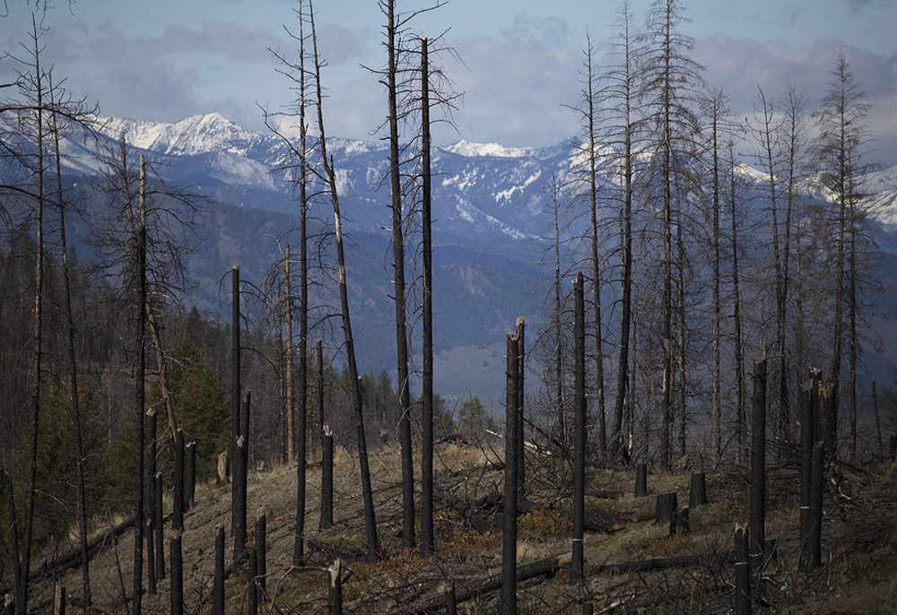 An area burned in the Carlton Complex fire is visible on Tuesday, April 23, 2019, along Highway 20 near Loup Loup Ski Bowl, east of Twisp, Washington. (Megan Farmer/KUOW)