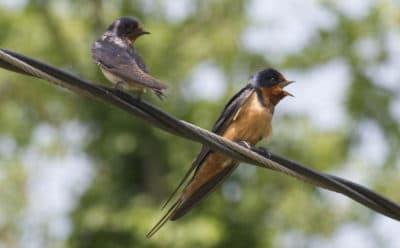Barn swallows (Brian Amaral/WBUR/File)