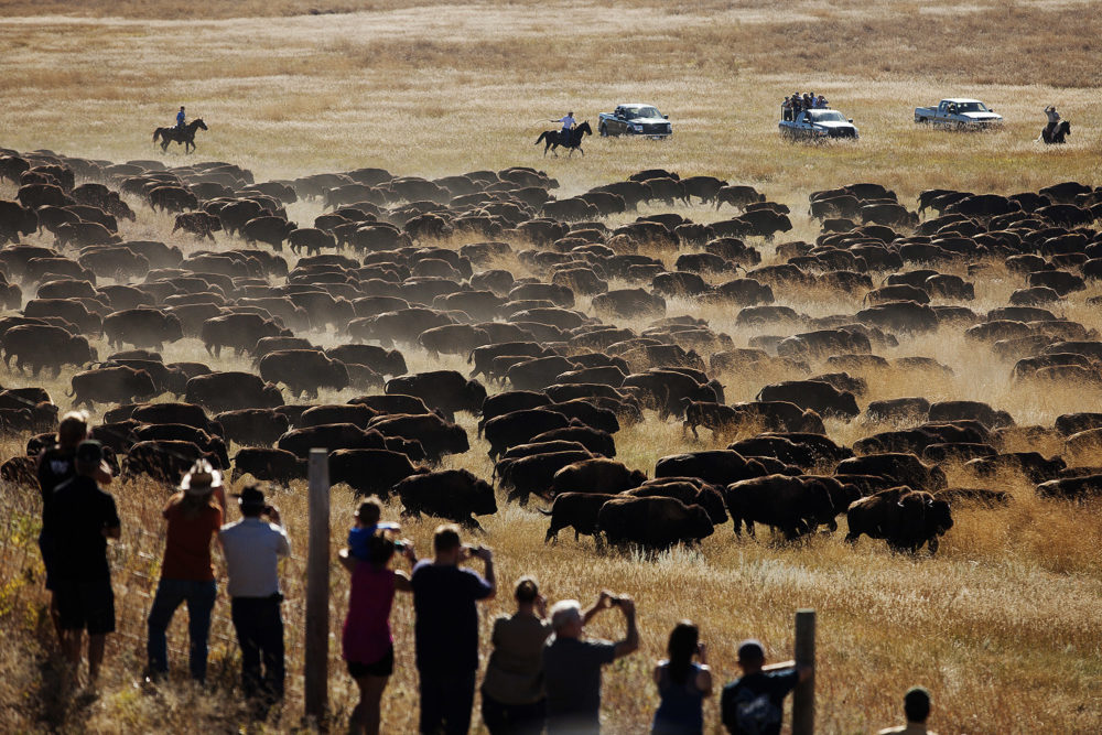 Spectators watch as riders and drivers herd buffalo toward corrals at the 49th annual Custer State Park Buffalo Roundup in the southern Black Hills near Custer, S.D. (Kristina Barker/AP)