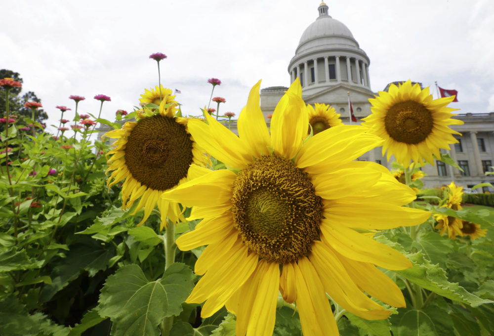 Sunflowers and other plants bloom in front of the Arkansas state Capitol in Little Rock, Ark. (Danny Johnston/AP)