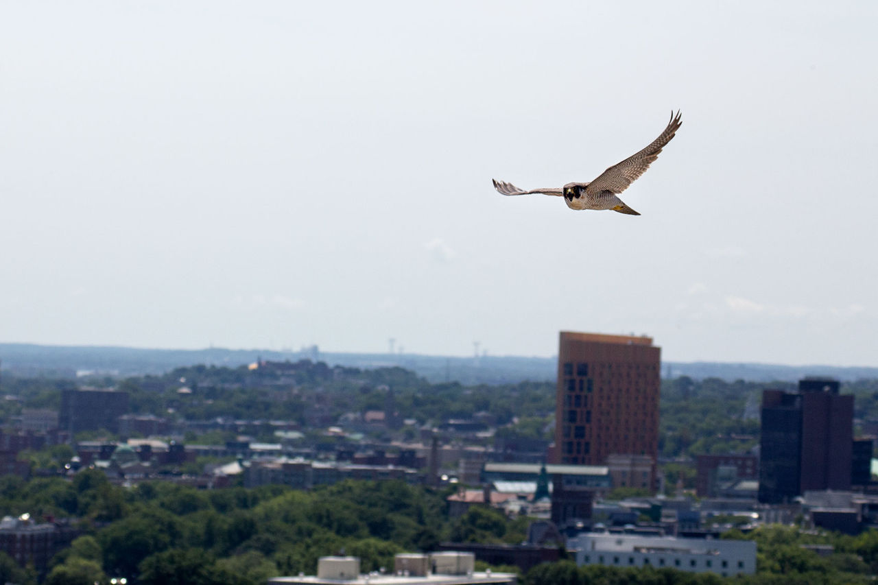 A peregrine falcon flies over Boston in this 2015 file photo. (Jesse Costa/WBUR)
