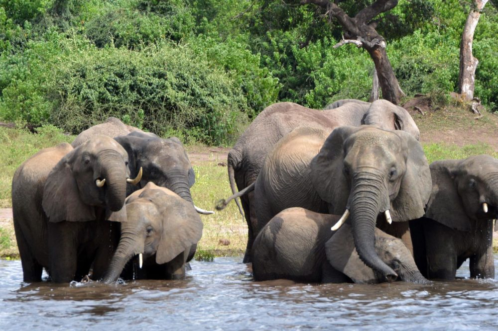 Elephants drink water in the Chobe National Park in Botswana, March 3, 2013. (Charmaine Noronha, File/AP)