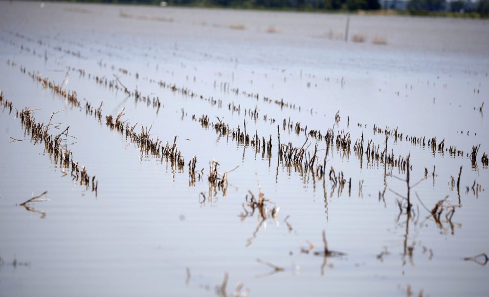 Rows of farm land near Holly Bluff, Miss., are covered with backwater flooding, Thursday, May 23, 2019. (Rogelio V. Solis/AP)