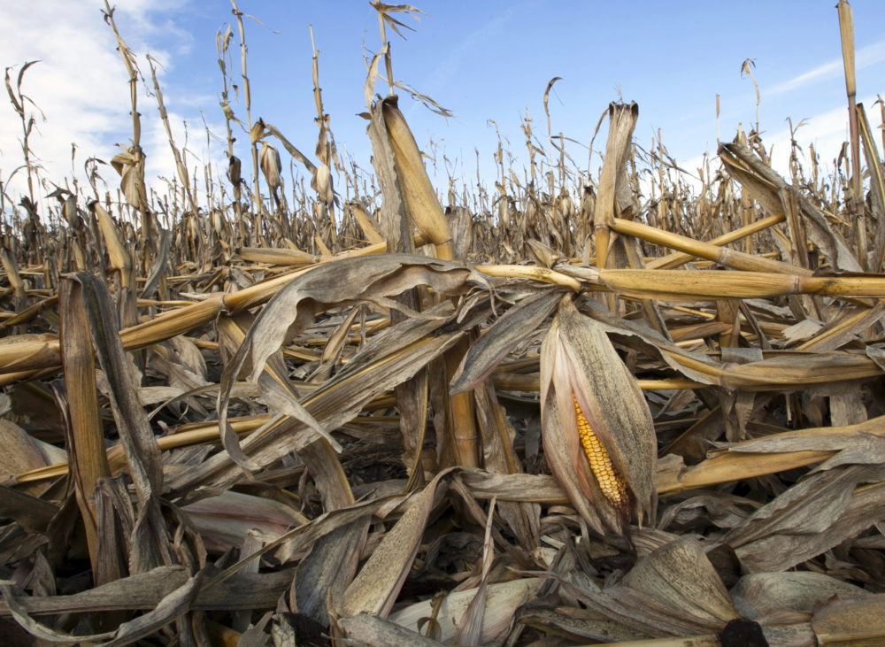 In this Sept. 19, 2012 file photo, corn plants weakened by the drought lie on the ground after being knocked over by rain in Bennington, Neb. The impacts of rising global temperatures are widespread and costly: more severe storms, rising seas, species extinctions, and changes in weather patterns that will alter food production and the spread of disease. (Nati Harnik/AP)
