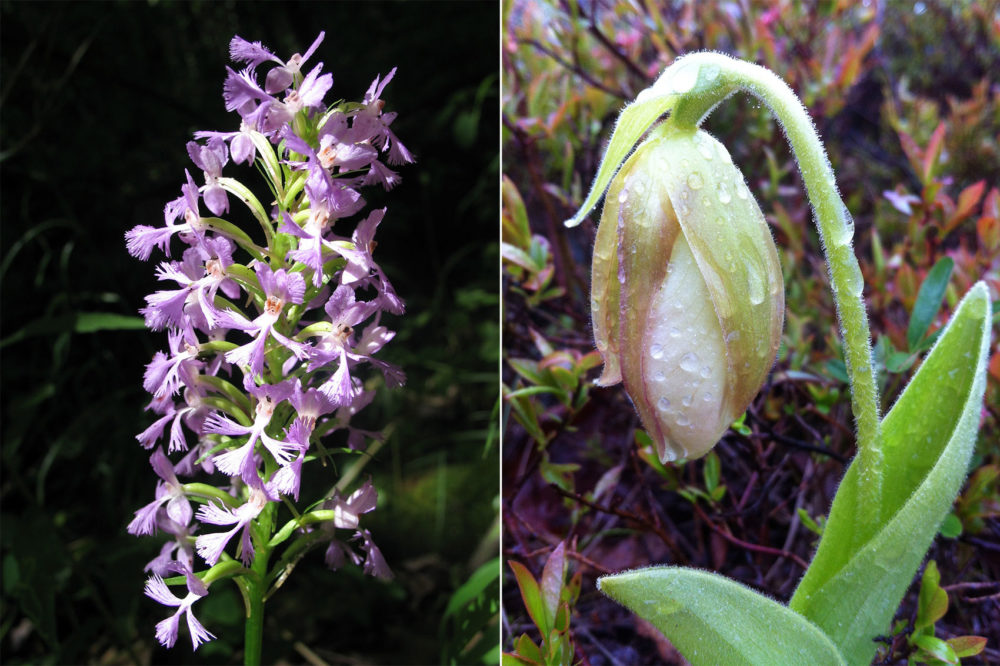 A purple fringed orchid, left, and the lady slipper, another orchid. Both have declined dramatically in the region. (Courtesy Richard Primack; Caitlin McDonough MacKenzie)
