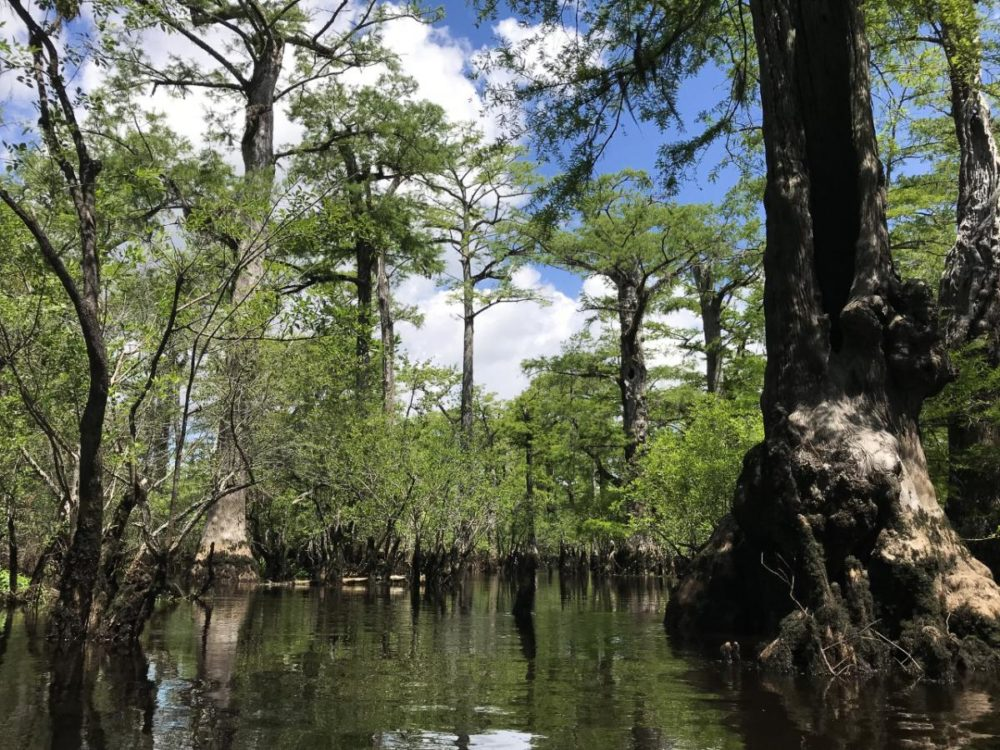 Some of the world's oldest trees live in the black swamps of North Carolina. (Will Michaels/WUNC)