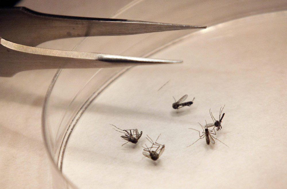 Mosquitos are sorted at the Dallas County mosquito lab in Dallas in 2012. (LM Otero/AP)