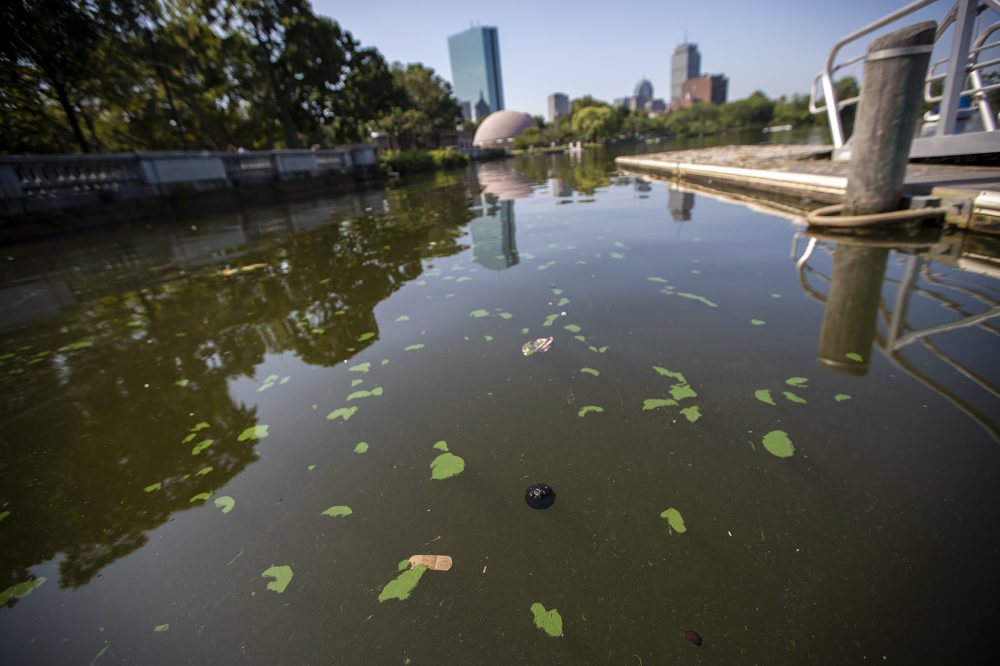 Blue-green algae, or cyanobacteria, blooms dot the surface of the Charles River Friday morning. (Jesse Costa/WBUR)