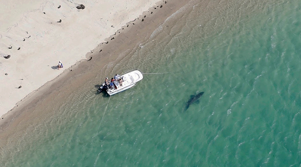 A great white shark swims close to the Cape Cod shore in Chatham, Mass in 2016. (Wayne Davis/Atlantic White Shark Conservancy via AP)