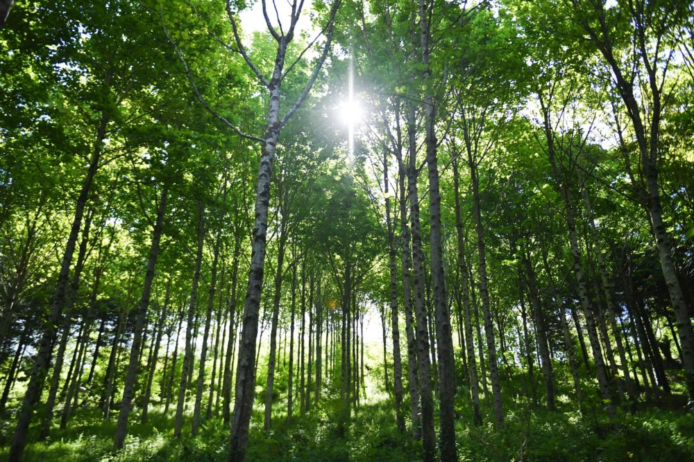 Swiss researchers are studying the effects of planting trees to capture carbon dioxide in the atmosphere. (Fred Tanneau /AFP/Getty Images)