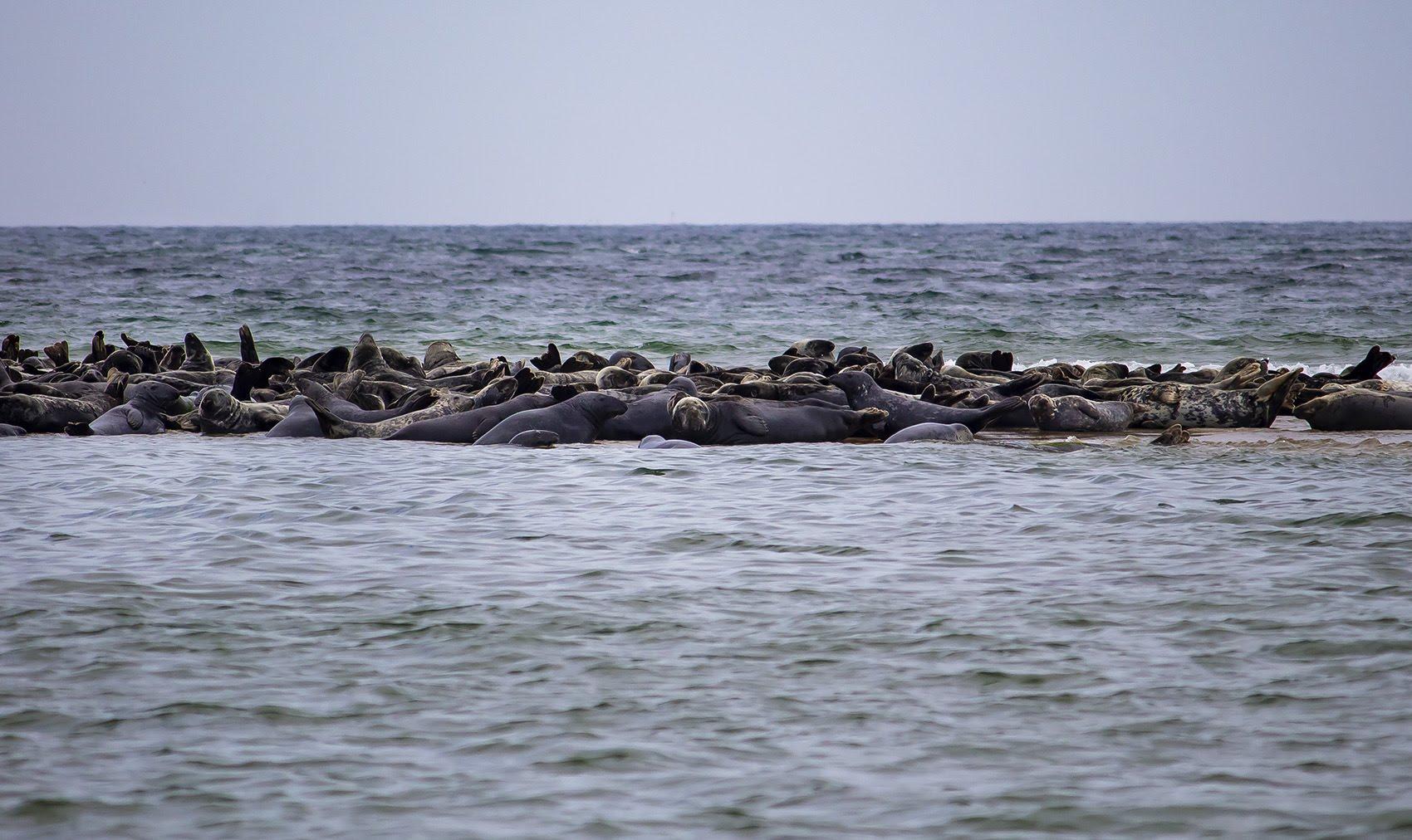 A gray seal haul out near Head of the Meadow Beach in Truro. (Miriam Wasser/WBUR)