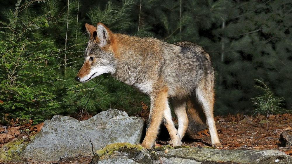 An eastern coyote. (Photo courtesy Masswildlife)