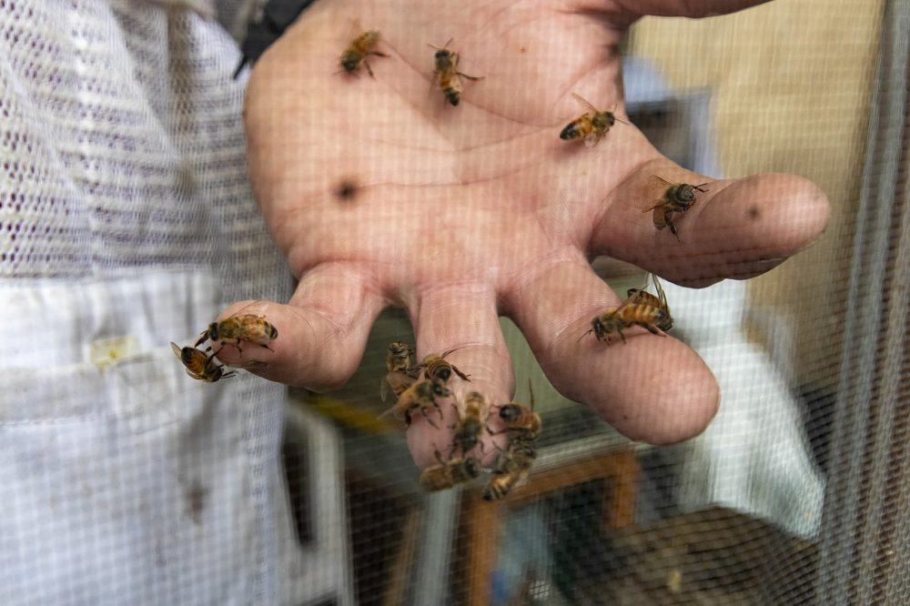 Jim Rawlings, a beekeeper from West Wareham, holds a handful of honey bees at the honey bee exhibit at the Marshfield Fair. (Jesse Costa/WBUR)