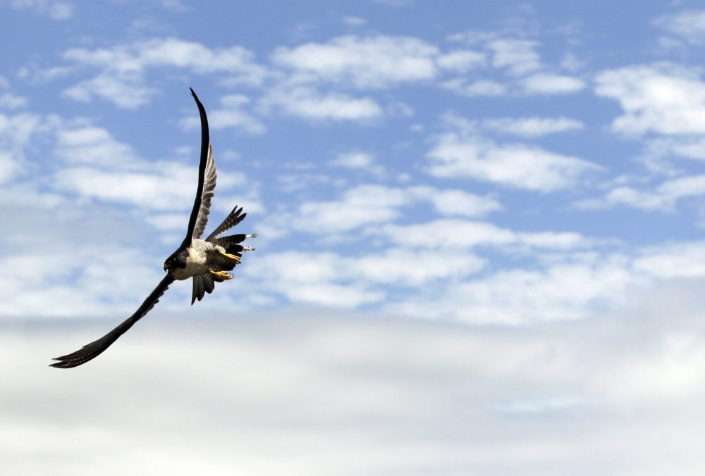 In this file photo, a peregrine falcon flies over San Francisco on Monday, April 23, 2012. (Marcio Jose Sanchez/AP)