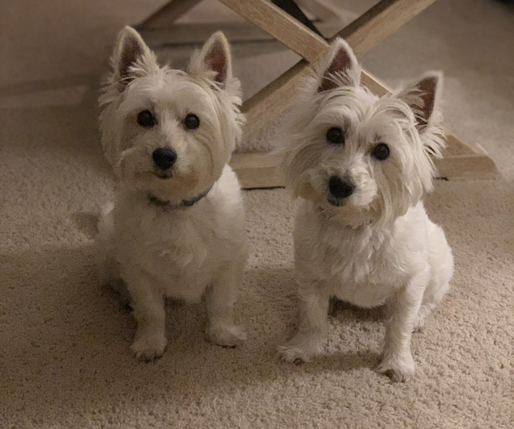 Melissa Martin's three dogs — Abby, Izzy and Harpo — all died earlier this month from toxic blue-green algae. Pictured are West Highland white terriers Abby and Izzy. (Courtesy of Melissa Martin)