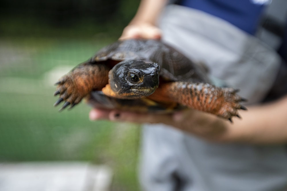 A wood turtle. (Jesse Costa)