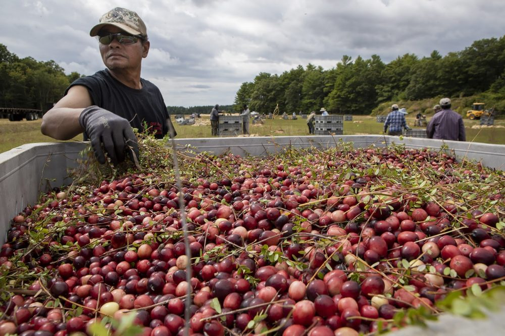 A worker at a bog owned by Carver-based Decas Cranberry Products, Inc., removes vines from a batch of just-harvested berries. (Jesse Costa/WBUR)