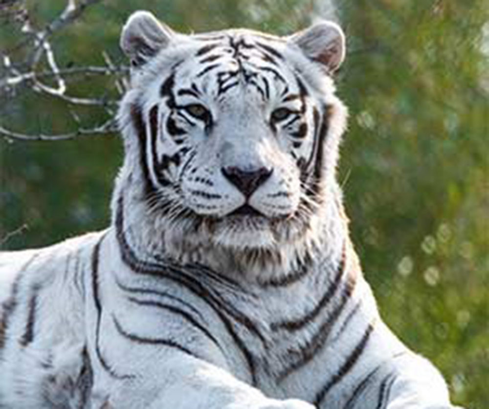 Luther The Franklin Park Zoo S Incredible White Tiger Dies Wbur News