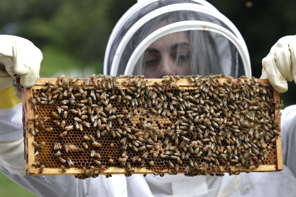 U.S. Army veteran Wendi Zimmermann transfers a frame of bees to a new box, while checking them for disease and food supply at the Veterans Affairs' beehives in Manchester, N.H. (Elise Amendola/AP)