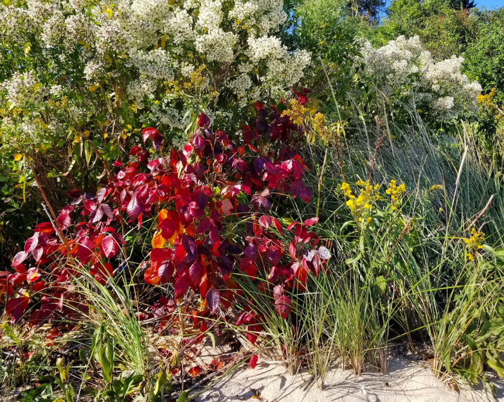 The dunes of Cape Cod are a favorite spot for poison ivy to grow among the grasses. (Courtesy of Eric Fisher)