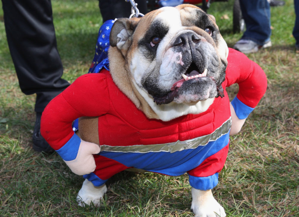 An English Bulldog in a Halloween costume parades around Eisenhower Park during Barkfest on Oct. 26, 2019 in East Meadow, New York. (Bruce Bennett/Getty Images)